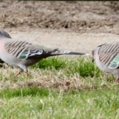 Ocyphaps lophotes (Crested Pigeon) at Thurgoona, NSW - 7 Jul 2021 by PaulF