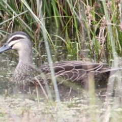 Anas superciliosa (Pacific Black Duck) at Thurgoona, NSW - 7 Jul 2021 by PaulF
