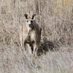 Macropus giganteus (Eastern Grey Kangaroo) at Thurgoona, NSW - 7 Jul 2021 by PaulF