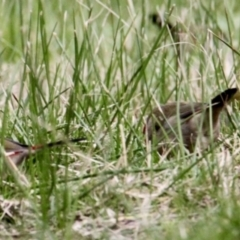 Neochmia temporalis (Red-browed Finch) at Thurgoona, NSW - 7 Jul 2021 by PaulF