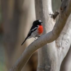 Petroica boodang (Scarlet Robin) at Kaleen, ACT - 4 Jul 2021 by trevsci