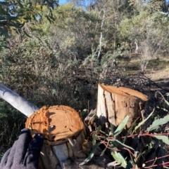 Eucalyptus melliodora (Yellow Box) at Yarralumla, ACT - 3 Jul 2021 by RAllen