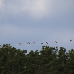 Hirundo neoxena (Welcome Swallow) at Charleys Forest, NSW - 28 Jun 2021 by LisaH