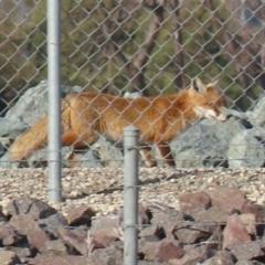 Vulpes vulpes (Red Fox) at Fyshwick, ACT - 7 Jul 2021 by RodDeb
