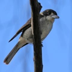 Cracticus torquatus (Grey Butcherbird) at Fyshwick, ACT - 7 Jul 2021 by RodDeb