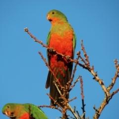 Alisterus scapularis (Australian King-Parrot) at Hughes, ACT - 5 Jul 2021 by LisaH