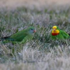 Polytelis swainsonii (Superb Parrot) at Wanniassa, ACT - 8 Jul 2021 by RodDeb