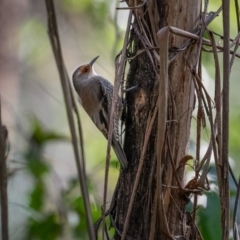 Climacteris erythrops (Red-browed Treecreeper) at Uriarra, NSW - 8 Jul 2021 by trevsci
