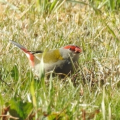 Neochmia temporalis (Red-browed Finch) at Hume, ACT - 9 Jul 2021 by RodDeb