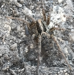 Venatrix pictiventris (Wolf spider) at Rendezvous Creek, ACT - 29 Jun 2021 by Tapirlord