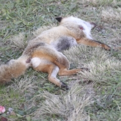 Vulpes vulpes (Red Fox) at Higgins, ACT - 9 Jul 2021 by AlisonMilton