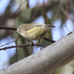 Smicrornis brevirostris (Weebill) at Holt, ACT - 9 Jul 2021 by AlisonMilton