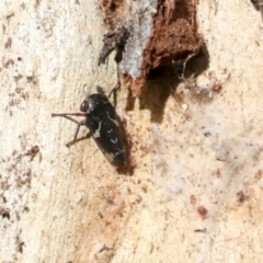 Eurymeloides bicincta (Gumtree hopper) at Holt, ACT - 9 Jul 2021 by AlisonMilton