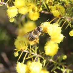 Trichophthalma sp. (genus) (Tangle-vein fly) at Castle Creek, VIC - 10 Jul 2021 by Kyliegw