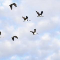 Threskiornis spinicollis (Straw-necked Ibis) at Hawker, ACT - 2 Jul 2021 by AlisonMilton