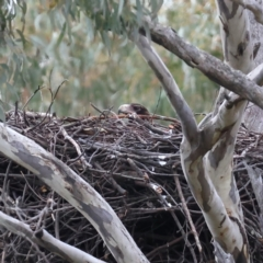 Aquila audax (Wedge-tailed Eagle) at Majura, ACT - 10 Jul 2021 by jbromilow50