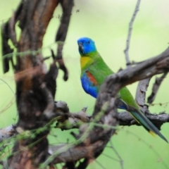 Neophema pulchella (Turquoise Parrot) at Grenfell, NSW - 21 Jan 2011 by Harrisi