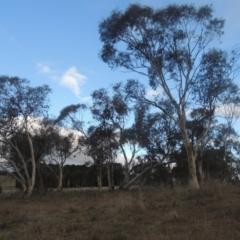 Eucalyptus pauciflora (Snow Gum) at Bungendore, NSW - 10 Jul 2021 by michaelb
