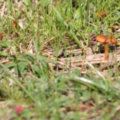 Laccaria sp. (TBC) at West Wodonga, VIC - 11 Jul 2021 by Kyliegw