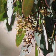 Eucalyptus polyanthemos (TBC) at West Wodonga, VIC - 11 Jul 2021 by Kyliegw
