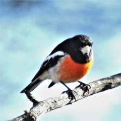 Petroica boodang (Scarlet Robin) at Rendezvous Creek, ACT - 11 Jul 2021 by JohnBundock