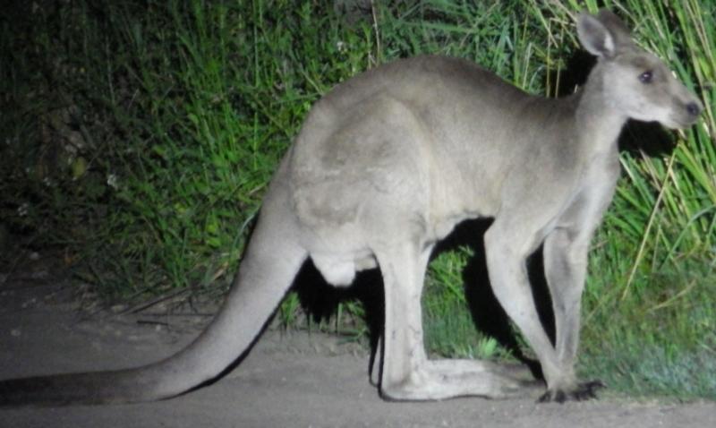 Macropus giganteus at Castlereagh, NSW - 12 Jan 2021
