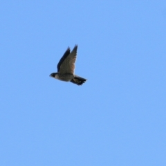 Falco peregrinus (Peregrine Falcon) at West Wodonga, VIC - 11 Jul 2021 by Kyliegw