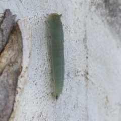Unidentified Moth (Lepidoptera) (TBC) at Holt, ACT - 3 Jul 2021 by AlisonMilton