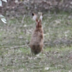 Lepus capensis (Brown Hare) at Thurgoona, NSW - 9 Jul 2021 by PaulF