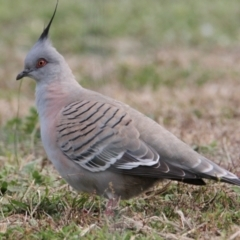 Ocyphaps lophotes (Crested Pigeon) at Thurgoona, NSW - 9 Jul 2021 by PaulF