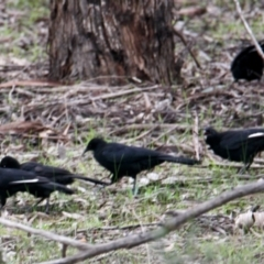Corcorax melanorhamphos (White-winged Chough) at Thurgoona, NSW - 9 Jul 2021 by PaulF