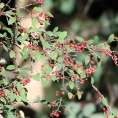Cotoneaster pannosus (Cotoneaster) at West Wodonga, VIC - 11 Jul 2021 by Kyliegw