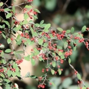 Cotoneaster pannosus at West Wodonga, VIC - 11 Jul 2021