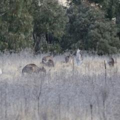 Macropus giganteus (Eastern Grey Kangaroo) at Bonython, ACT - 11 Jul 2021 by RodDeb