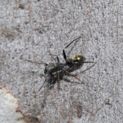 Myrmarachne luctuosa (Polyrachis Ant Mimic Spider) at Acton, ACT - 18 Apr 2021 by TimL