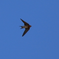 Hirundo neoxena (Welcome Swallow) at Bonython, ACT - 11 Jul 2021 by RodDeb
