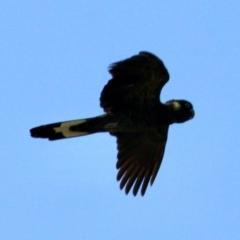 Zanda funereus (Yellow-tailed Black-Cockatoo) at Springdale Heights, NSW - 11 Jul 2021 by PaulF
