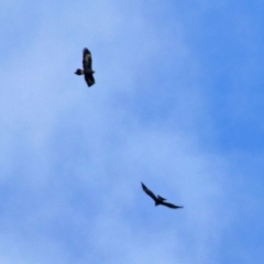 Aquila audax (Wedge-tailed Eagle) at Gordon, ACT - 11 Jul 2021 by RodDeb