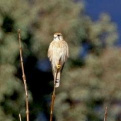 Falco cenchroides (Nankeen Kestrel) at Bonython, ACT - 11 Jul 2021 by RodDeb