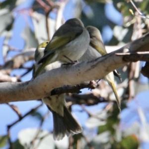 Ptilotula penicillatus at Springdale Heights, NSW - 11 Jul 2021