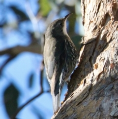 Cormobates leucophaea (White-throated Treecreeper) at Springdale Heights, NSW - 11 Jul 2021 by PaulF