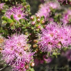 Kunzea capitata (Pink Kunzea) at Wentworth Falls, NSW - 4 Nov 2020 by PatrickCampbell