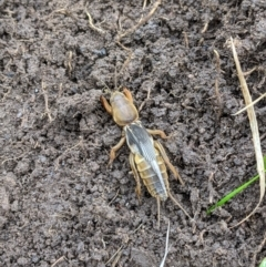 Gryllotalpa sp. (genus) (Mole Cricket) at West Wodonga, VIC - 12 Jul 2021 by ChrisAllen
