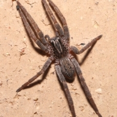 Miturgidae sp. (family) (TBC) at Evatt, ACT - 8 Jul 2021 by TimL