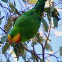 Polytelis swainsonii (Superb Parrot) at Hughes, ACT - 12 Jul 2021 by LisaH