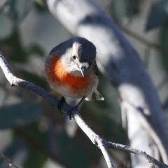 Petroica boodang (Scarlet Robin) at Majura, ACT - 12 Jul 2021 by jbromilow50