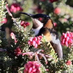 Acanthorhynchus tenuirostris (Eastern Spinebill) at Acton, ACT - 12 Jul 2021 by RodDeb