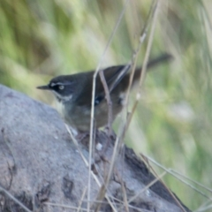 Sericornis frontalis (White-browed Scrubwren) at Springdale Heights, NSW - 11 Jul 2021 by PaulF