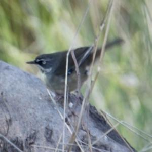 Sericornis frontalis at Springdale Heights, NSW - 11 Jul 2021