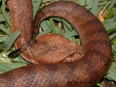 Acanthophis antarcticus (Common Death Adder) at Springwood, NSW - 8 Mar 2008 by PatrickCampbell